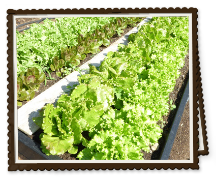 Four Kinds of Lettuce